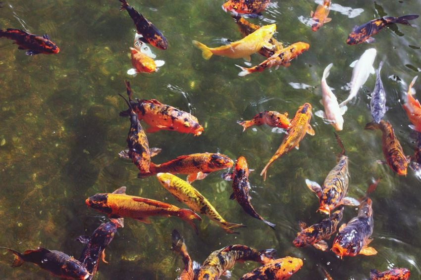 Koi Carp Fish Water Koi Carp Carp Swimming Outdoors No People Large Group Of Animals Sea Life Nature Animal Themes
