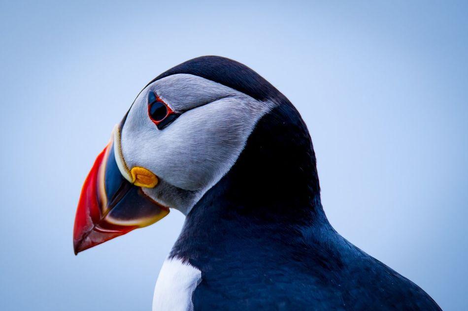 Beautiful stock photos of irland, Animal Themes, Animals In The Wild, Atlantic Puffin, Bird