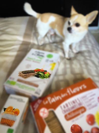 Chihuahua Dog Animal Photography Petit Chien Lovely Delicious Love Glutenfree Le Pain Des Fleurs Roobïbos Thé Orange Tartine Flou
