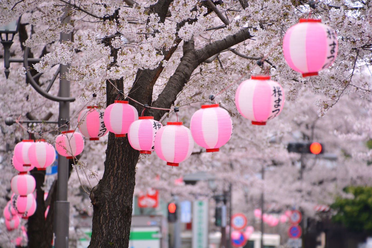 Cherry Blossoms Celebration Cherry Blossoms Cultures Day Decoration EyeEmNewHere First Eyeem Photo Hanging Lantern Low Angle View Millennial Pink Nature No People Outdoors Paper Lantern Pink Color Sakura Tree