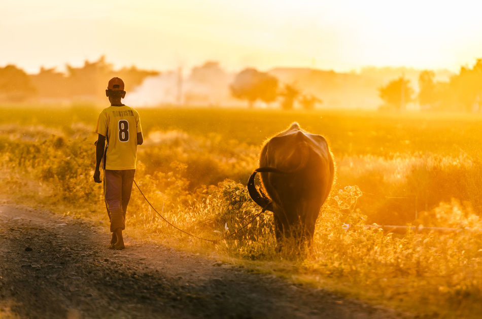 Beautiful stock photos of buffalo, Animal Themes, Buffalo, Domestic Animals, Domestic Cattle