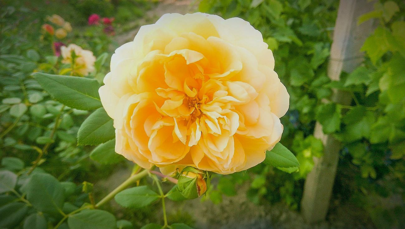 Summer Bulgarian house beautiful nature around. Hello World EyeEm Best Shots - Nature Taking Photos Hanging Out Relaxing Hi! Eye4photography  Nature_collection Rose🌹 Yellow Rose