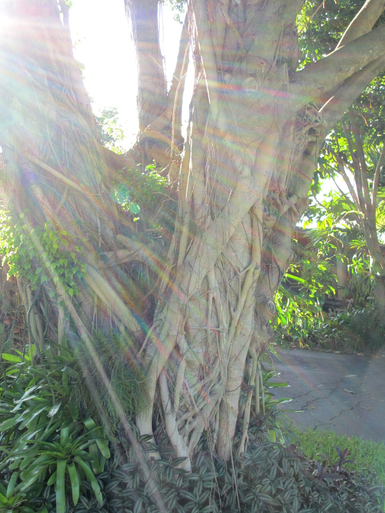 Good Morning Sunshine Beautiful Day Along The Way Morning Walk Hugging A Tree Hugging Trees Trees Glitch Sun Glare Roots Strangler Fig