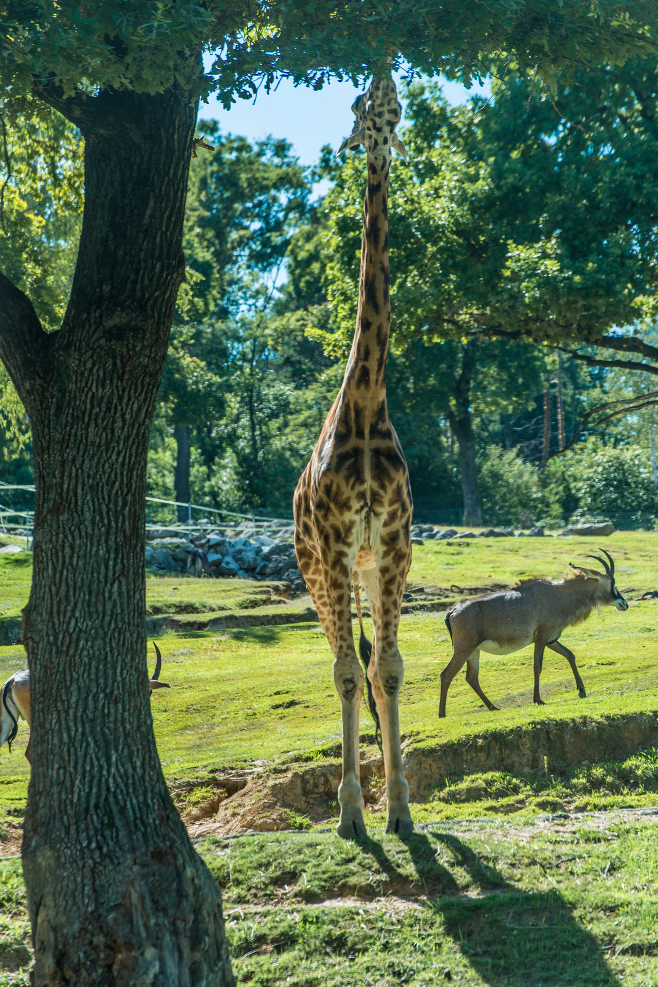 giraffe in natural park Animal Animal Themes Beauty In Nature Day Field Forest Giraffe Grass Grazing Green Color Growth Herbivorous Landscape Mammal Nature No People Non-urban Scene Outdoors Safari Tranquil Scene Tranquility Tree Tree Trunk Wildlife Zoology