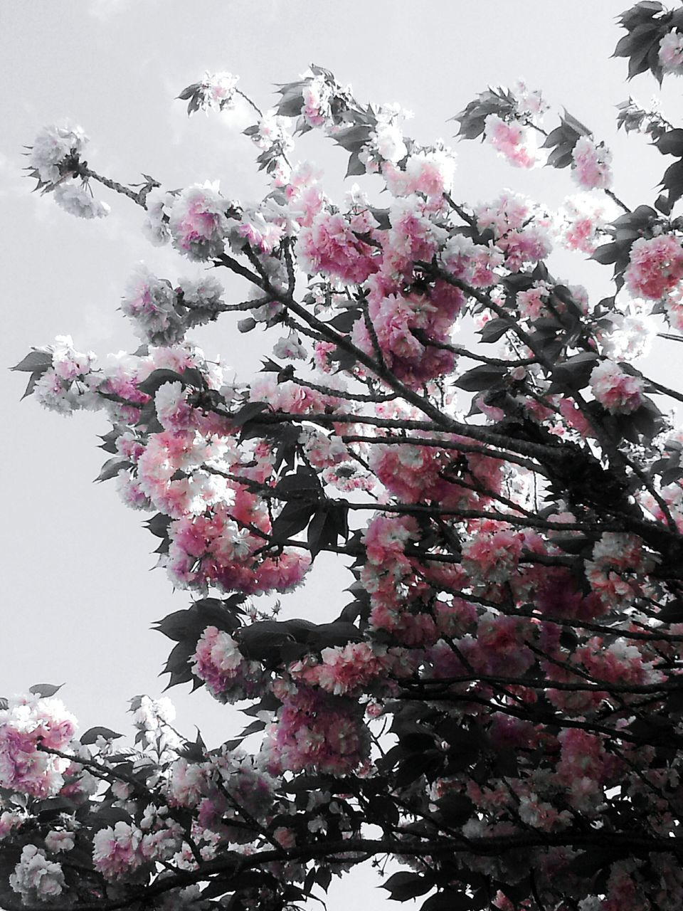 flower, tree, blossom, growth, fragility, nature, beauty in nature, low angle view, springtime, botany, freshness, branch, pink color, no people, magnolia, day, petal, outdoors, clear sky, blooming, sky, close-up, flower head