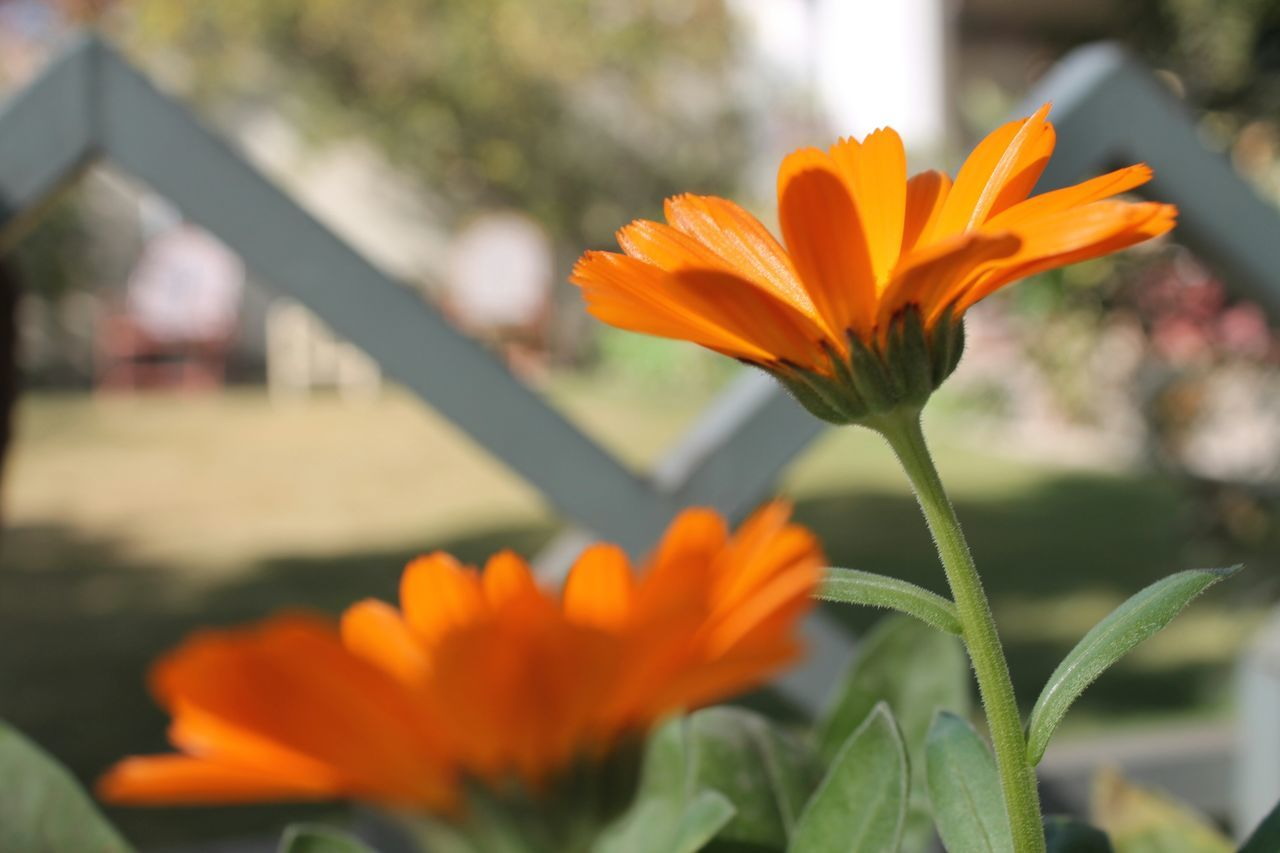 flower, petal, beauty in nature, growth, orange color, nature, fragility, freshness, flower head, plant, blooming, outdoors, focus on foreground, day, no people, close-up, leaf