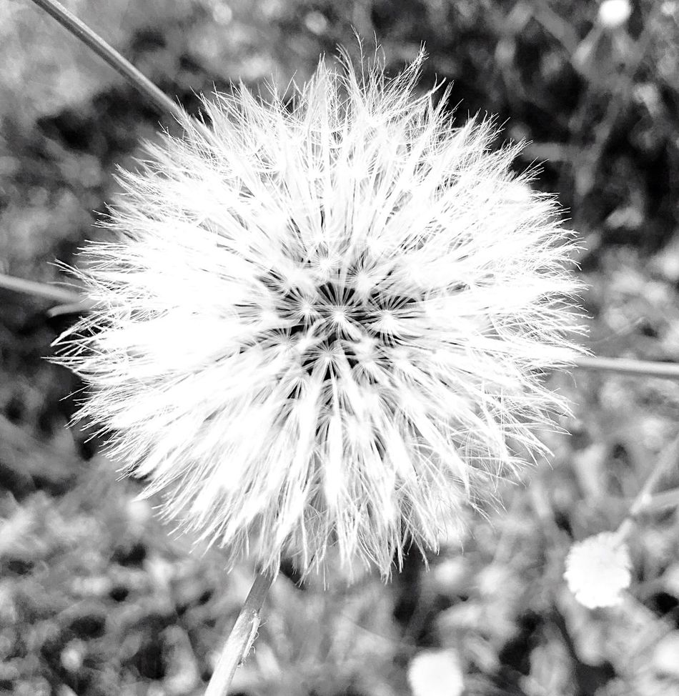 Flower Nature Fragility Dandelion Flower Head Growth Close-up Plant Focus On Foreground Uncultivated Wildflower Seed Outdoors No People Day Beauty In Nature Freshness