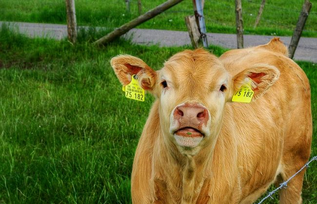 Yearling Bull Animal Photography Animals Posing Animal_collection Animal Portrait Cattle Animal Countryside Countrylife