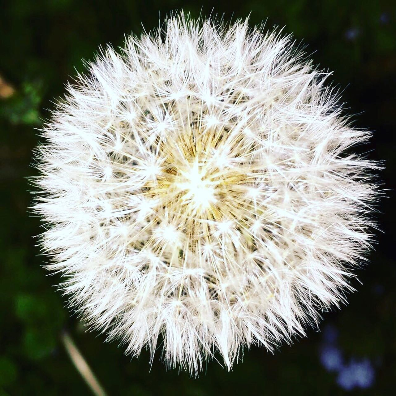 flower, dandelion, fragility, flower head, close-up, focus on foreground, nature, uncultivated, no people, outdoors, day, plant, growth, beauty in nature, freshness