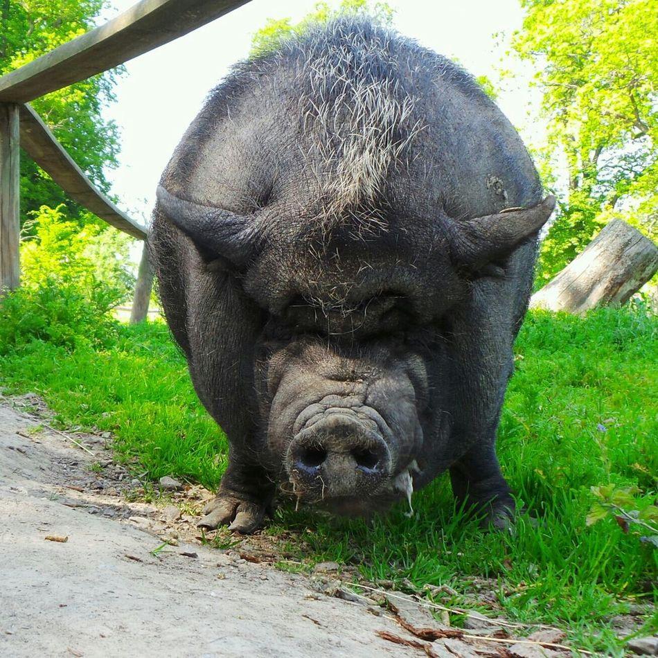 Animals Pig Eye Em Nature Lover