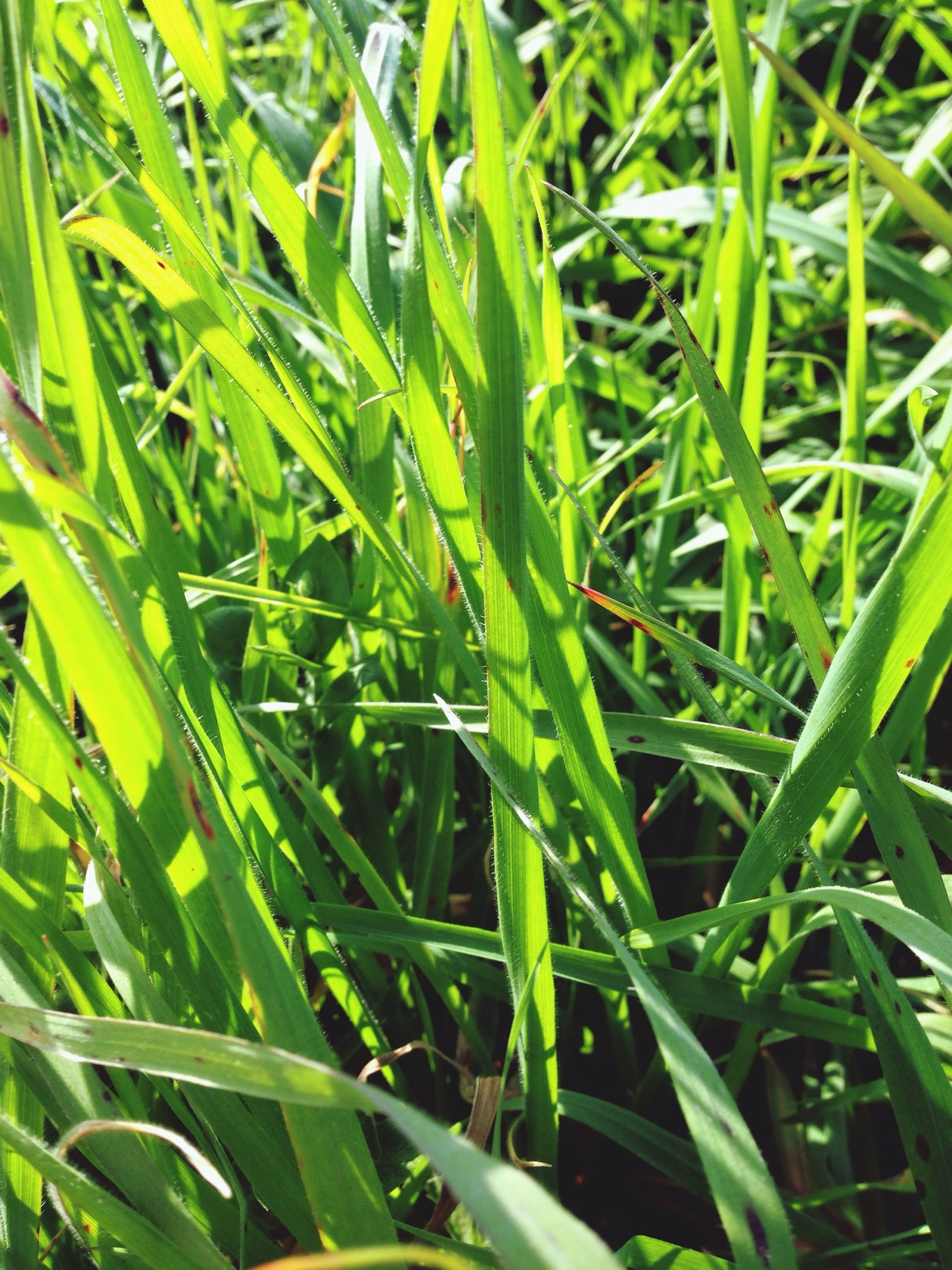 grass, green color, growth, blade of grass, plant, field, nature, leaf, beauty in nature, green, full frame, grassy, close-up, backgrounds, freshness, lush foliage, tranquility, day, outdoors, no people