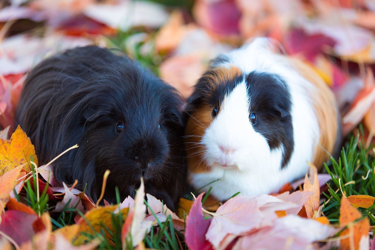 Leaf Autumn Pets Guinea Pig Mammal Animal Themes Domestic Animals Close-up No People Young Animal Day Outdoors Nature Cute Playtime