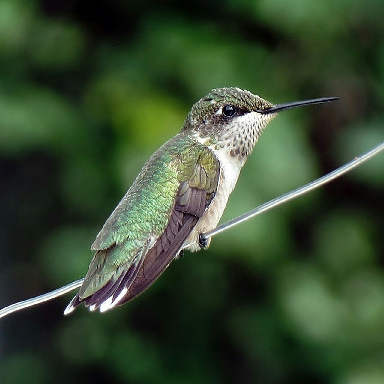 He's resting, taking a breather I presume. Humming birds are speedy little things🐦 Nature Naturelovers Hummingbird Humming Bird Bird Photography Animal Wildlife