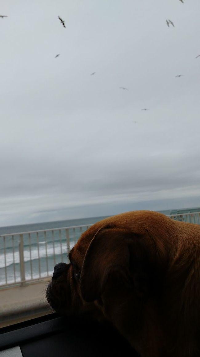 Midasthefriendlychug Lookingoutthewindow Birds Dog Ocean Beach Chug Animal Photography