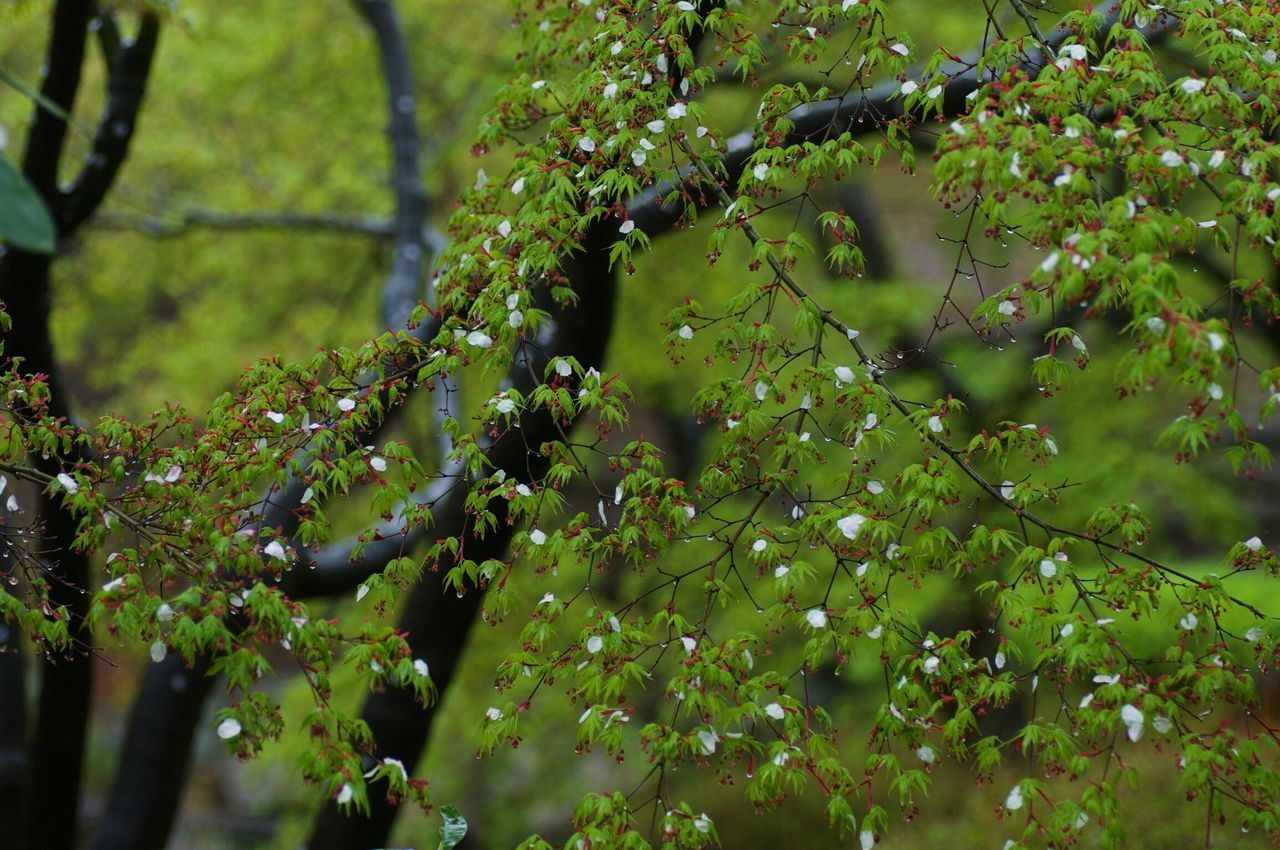 Sakura / Cherry Blossoms Petals collaborate with Japanese Maple Taking Pictures In The Rain