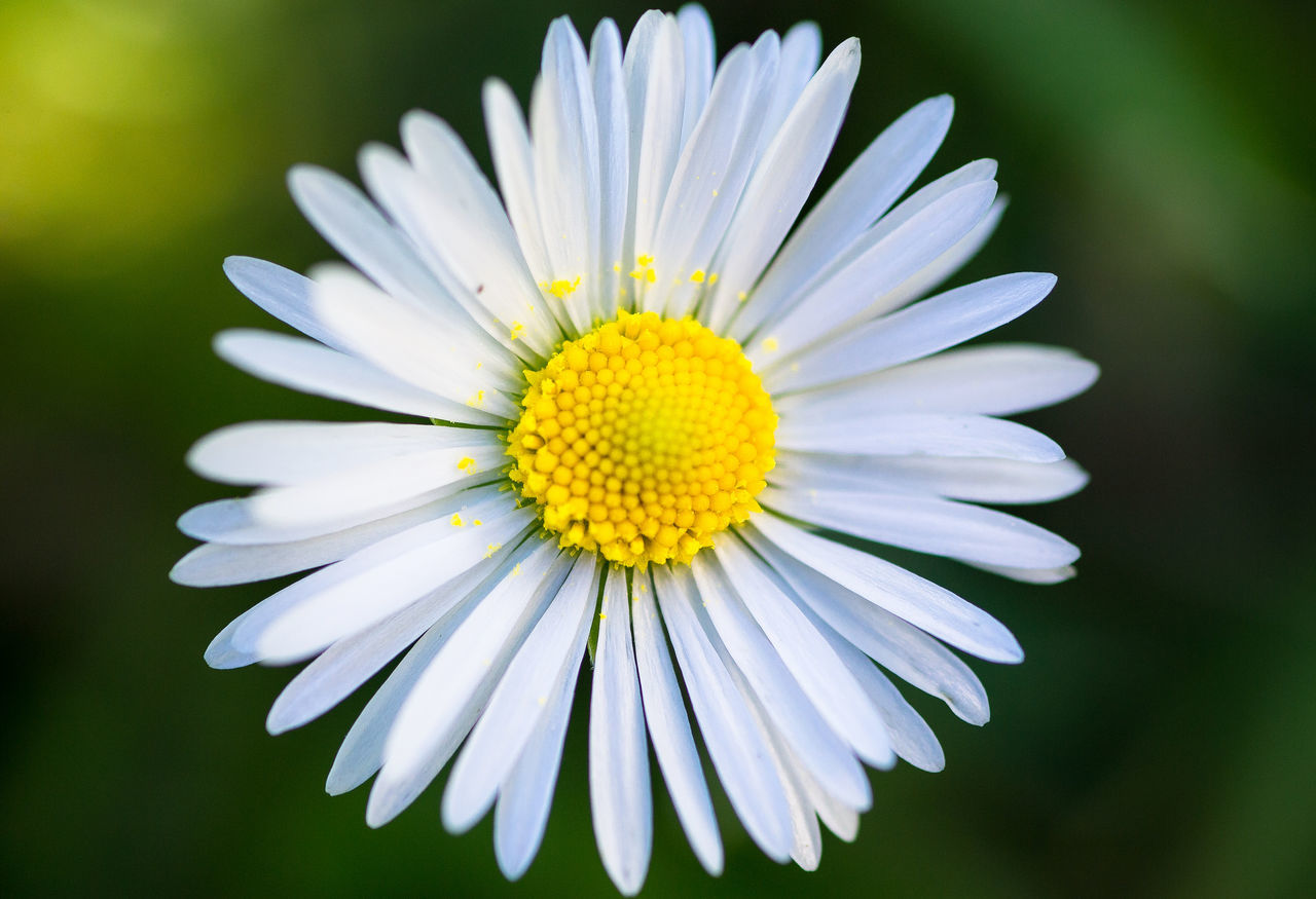 Beauty In Nature Blooming Close-up Day Flower Flower Head Fragility Freshness Growth Nature No People Outdoors Petal Plant White Color Yellow