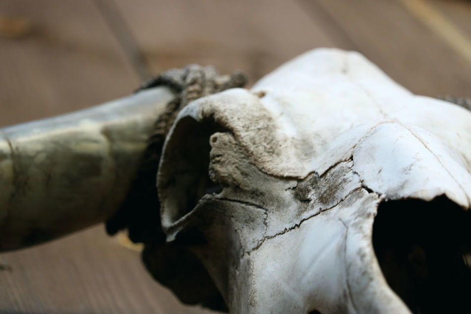 Animal Bone Animal Skeleton Animal Skull Animal Themes Bone  Bull Close-up Country Country Living Horn Horns Rural Rustic Rustic Style Skull South Southern Southern Life Western