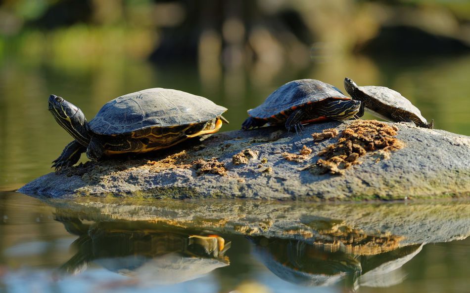 Animal Wildlife Animals In The Wild Day Family Lake Nature No People Outdoors Pseudemys Nelsoni Red Bellied Cooter Relax Reptile Rest Rock Stone Sun Sunbath Sunbathing Turtle Water