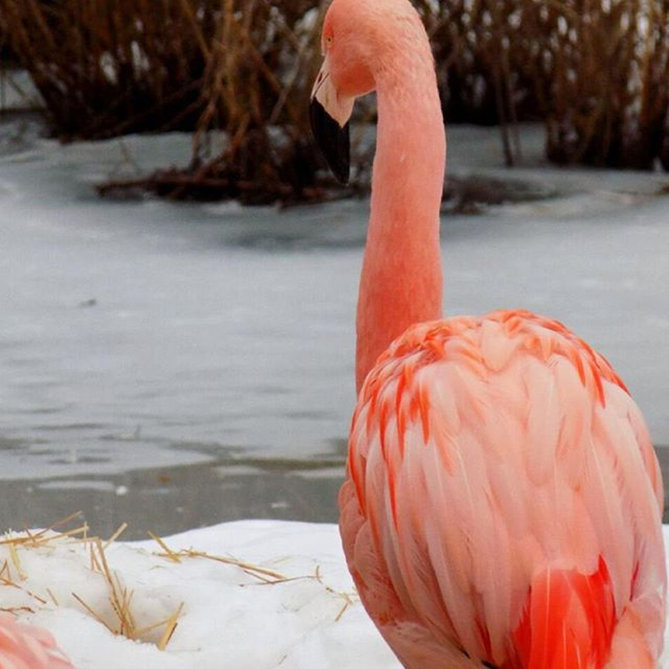 Nature Flamingo Beautiful Icelake Zoo Chicago Nikon Nikonshot Freezing Motog Cold Extremenature Bestoftheda IGDaily Latepost Latergram Travel Travelgram Instagood Orange Birds Wildlife Snow Winters USctai6