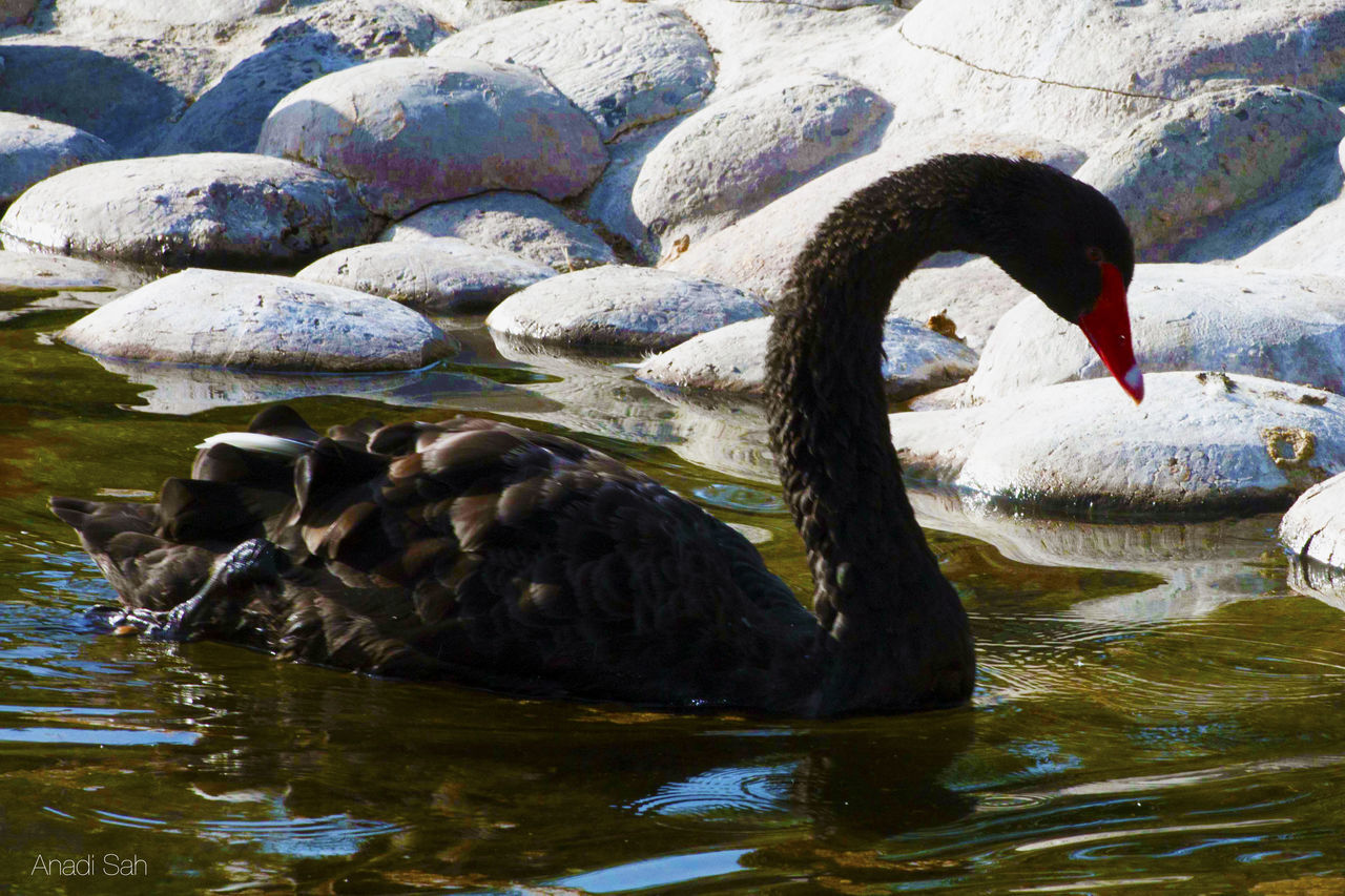 animal themes, animals in the wild, water, bird, lake, swimming, waterfront, nature, no people, one animal, day, outdoors, animal wildlife, water bird, black swan, swan