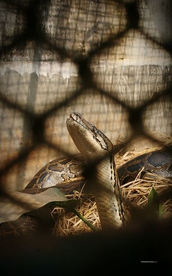 Python Zoo Animals  Mirpurzoo Showcase: January