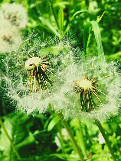 Flower Dandelion Nature Growth Fragility Beauty In Nature Plant Flower Head Freshness Green Color Focus On Foreground Wildflower Close-up Outdoors Uncultivated No People Day