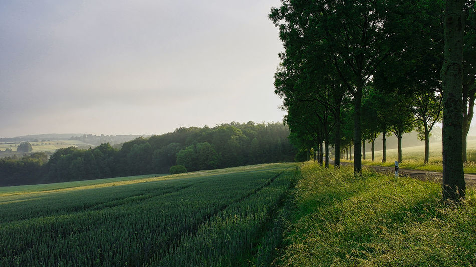 Felder Landstrasse Nebel Sonnenschein  Agriculture Baumallee In Frischem Grűn Beauty In Nature Day Field Freshness Grass Green Color Growth Landscape Nature No People Outdoors Rice Paddy Rural Scene Scenics Sky Tranquil Scene Tranquility Tree