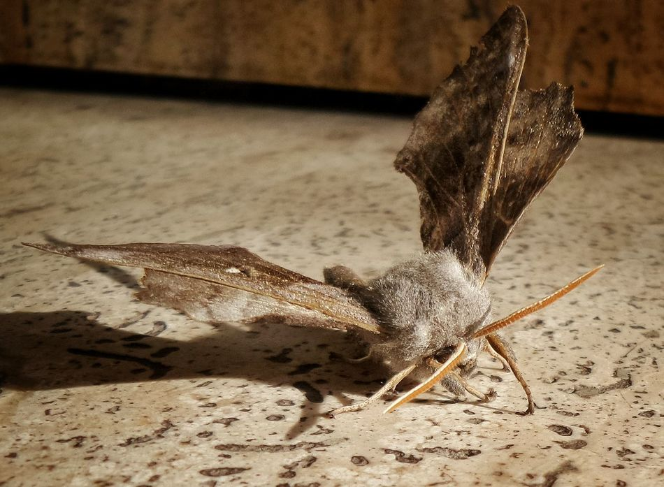 Night Moth Macro Photography Macro_collection Moth Lepidopteran Insects Papillon De Nuit Morning Light