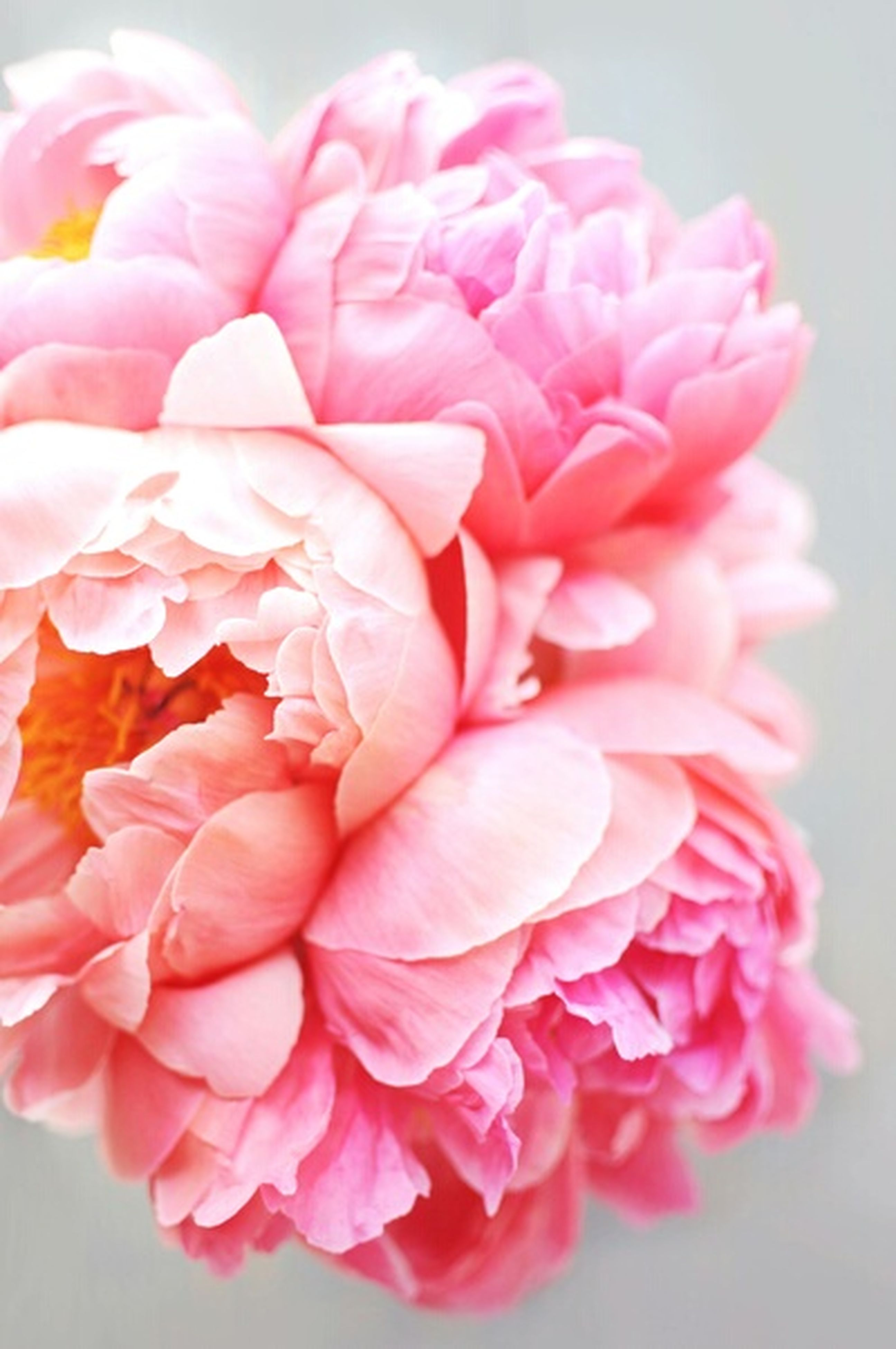 flower, petal, freshness, fragility, flower head, indoors, close-up, pink color, beauty in nature, rose - flower, nature, focus on foreground, red, bunch of flowers, blooming, vase, pink, growth, studio shot, white color
