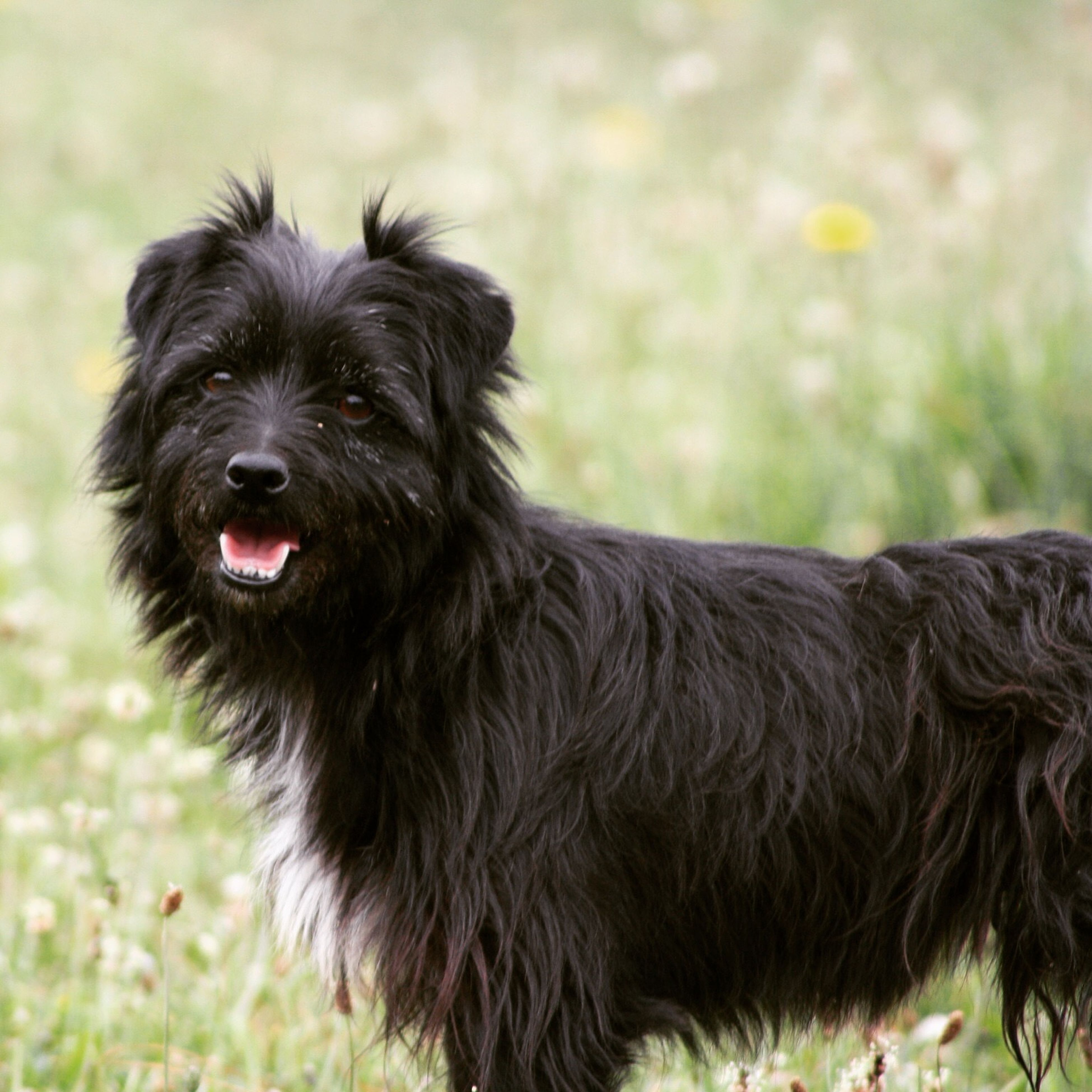 domestic animals, animal themes, one animal, mammal, dog, pets, focus on foreground, field, black color, grass, close-up, animal hair, animal head, portrait, looking at camera, sticking out tongue, no people, outdoors, day, animal body part