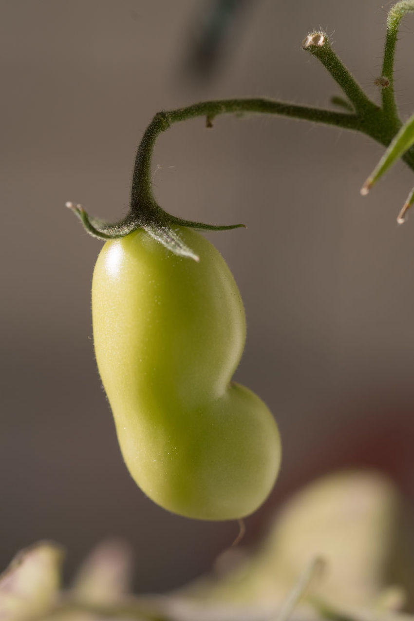 Small Tomatoes On My Balcony Close Up Close-up Focus On Foreground Food Food And Drink Fresh Freshness Fruit Green Green Color Growth Growth Healthy Eating Juicy Kidney Shaped Leaves Macro No People Organic Outside Pear Tomatoes Selective Focus Stem Tomato Yellow
