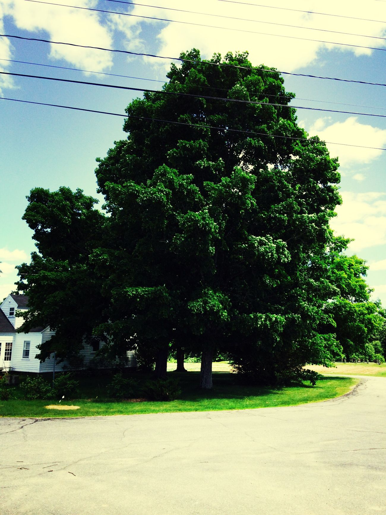 This is a sugar maple! #newhampshire