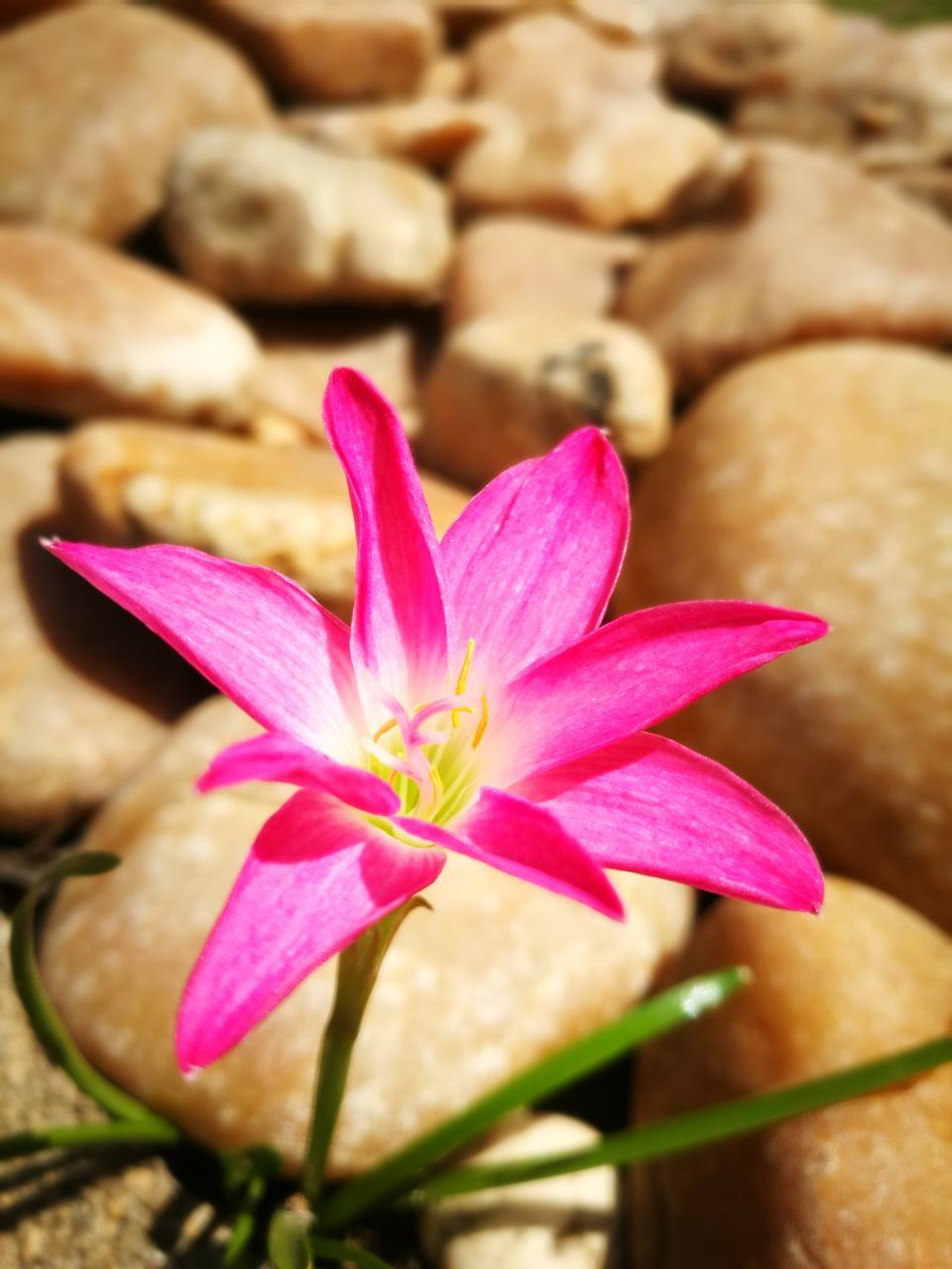 flower, pink color, petal, freshness, nature, fragility, beauty in nature, close-up, no people, growth, flower head, day, outdoors, crocus