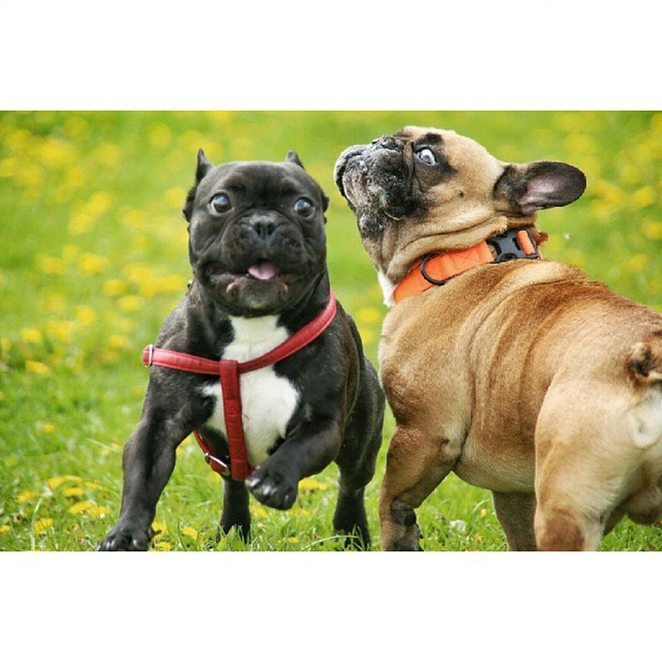 Gonzothunder Bongo Frenchzone Frenchie Frenchbulldog Bulldogsareawesome Frozenframe Crazyfrenchielovers Frenchbulldoglove Instadog Piesel