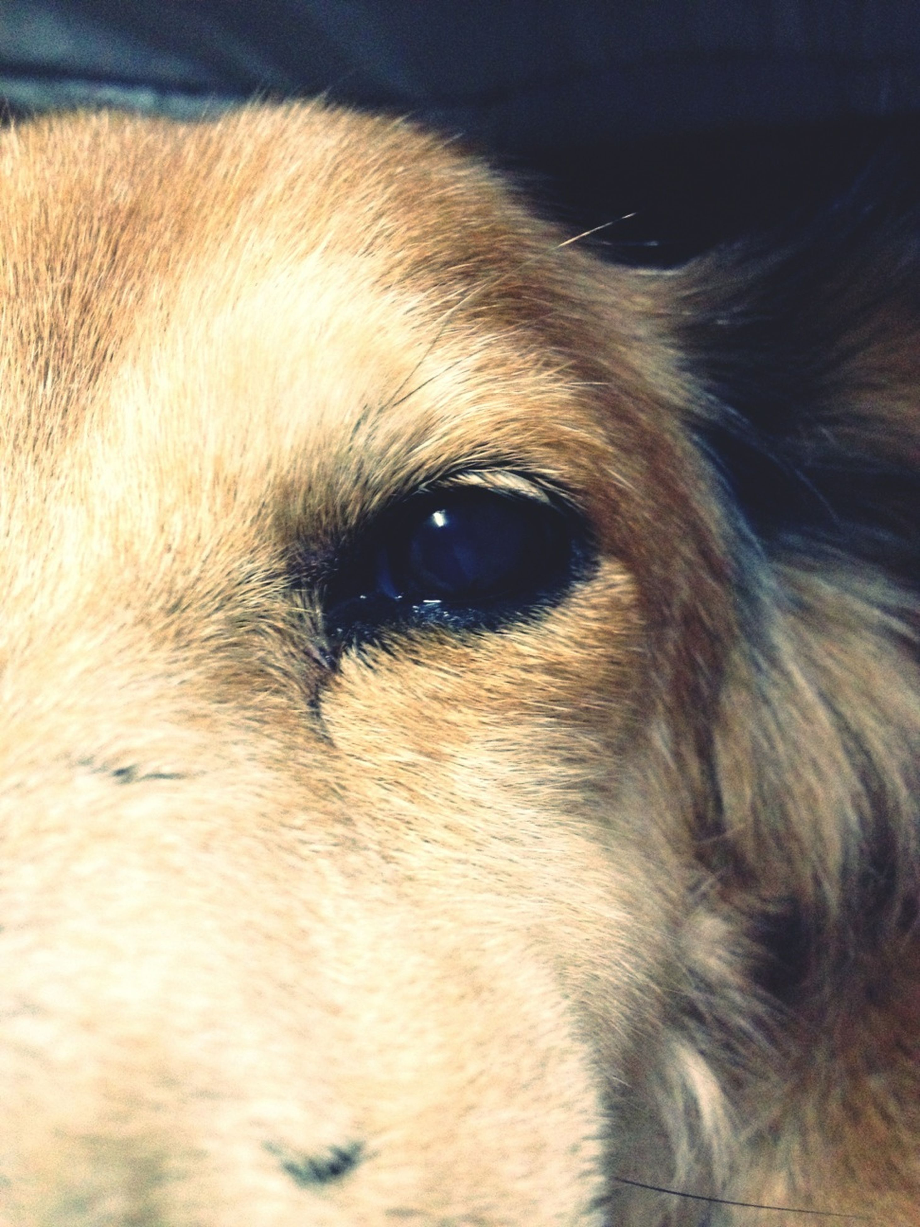 one animal, animal themes, dog, pets, domestic animals, mammal, animal head, close-up, animal body part, animal hair, indoors, part of, focus on foreground, looking away, portrait, animal eye, snout, brown, no people