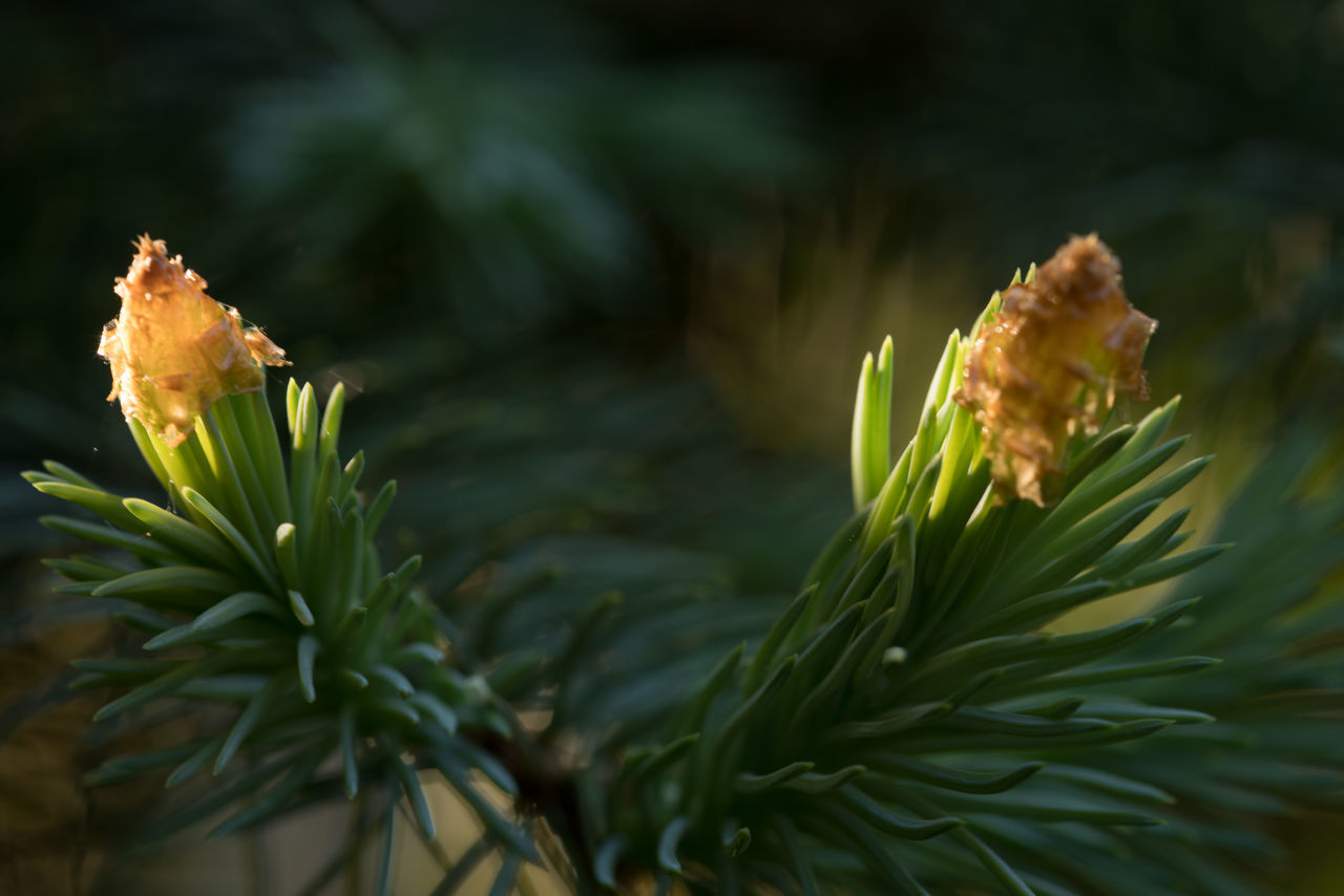 Evening in the garden Beauty In Nature Blossoms  Dark Background Evening Evening Light Fir Focus On Foreground Garden Garden Photography Macro Need No People Outdoors Plants And Flowers Selective Focus Sunlit Twig