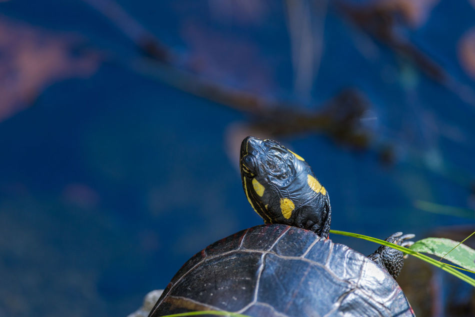 The head of a turtle. Animal Animals In The Wild Close-up HEAD Nature No People One Animal Outdoors Painted Turtle Turtle Turtle 🐢 Wildlife Wildlife & Nature Wildlife Photography Wildlife Photos Wildlifephotographer Animal Themes Reptile Photography Reptile Animal Photography Tortoise Shell
