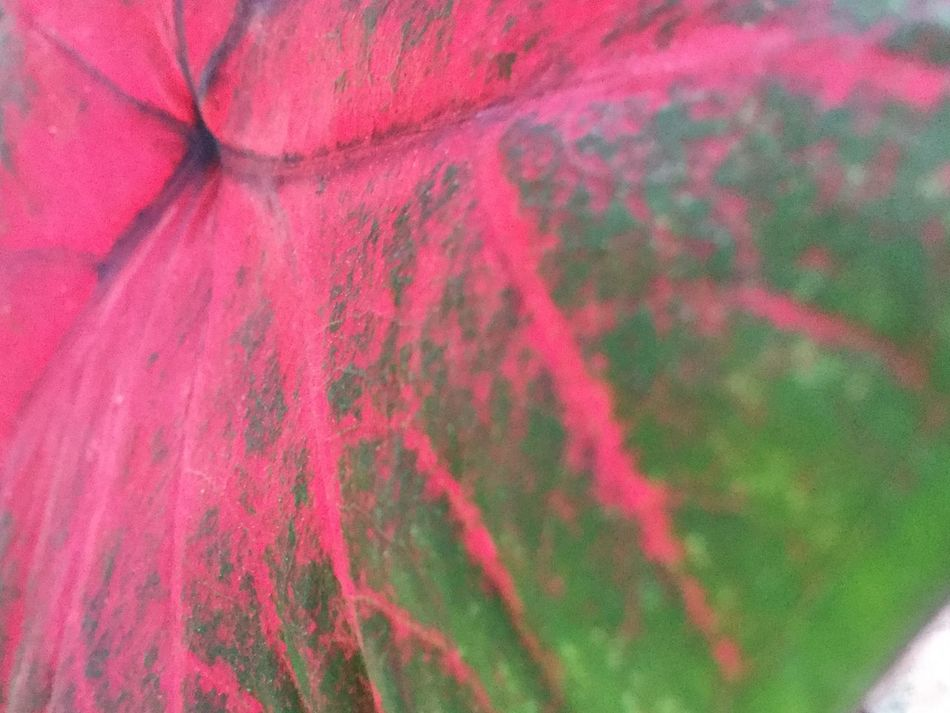Up Close Elephant Ears 🍃 Beautiful Beauty In Nature Leaf 🍂 Spring To Life! Nature Colors Leaves Leaf Me Alone