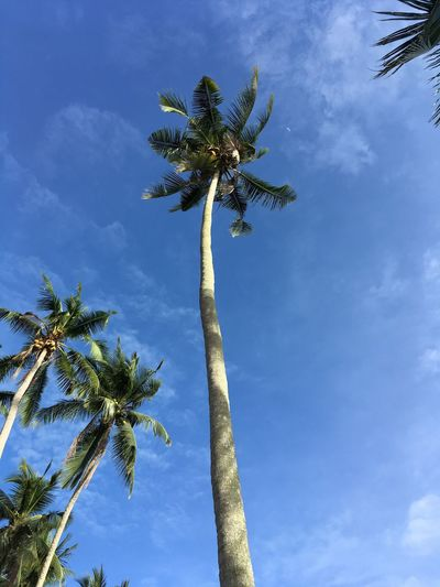 Coconut Trees Day Sky Tropical