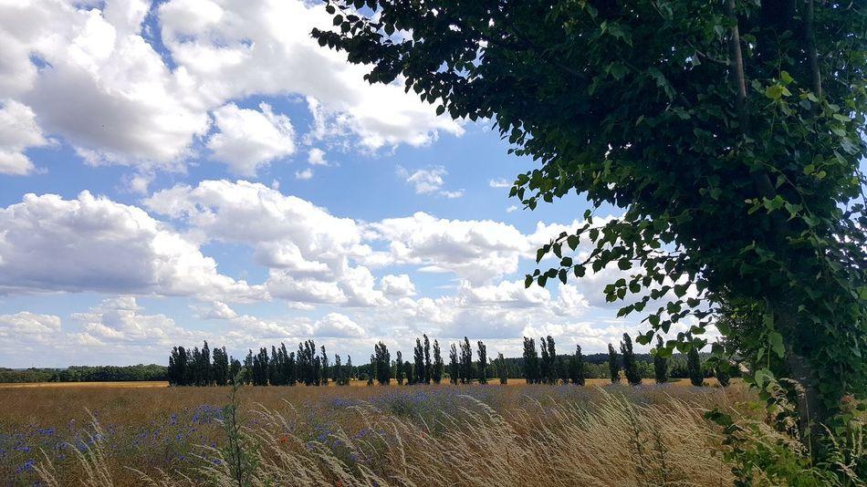 Sky Cloud - Sky Tree Outdoors Nature Landscape No People Day Kornblume Kornblumenblau Kornfeld Weizen Weizengras Weizenfeld EyeEmNewHere