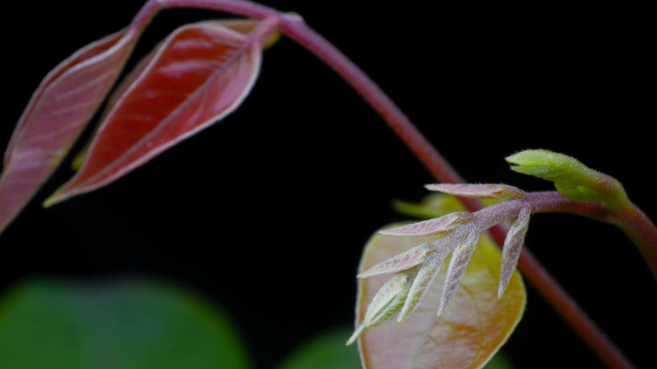 Young leaf Beginnings Black Background Botany Close-up Detail Focus On Foreground Fragility Fresh Freshness Green Leaves Natural Nature New Life Part Of Petal Red Stem Tree Young Leafs Young Leaves