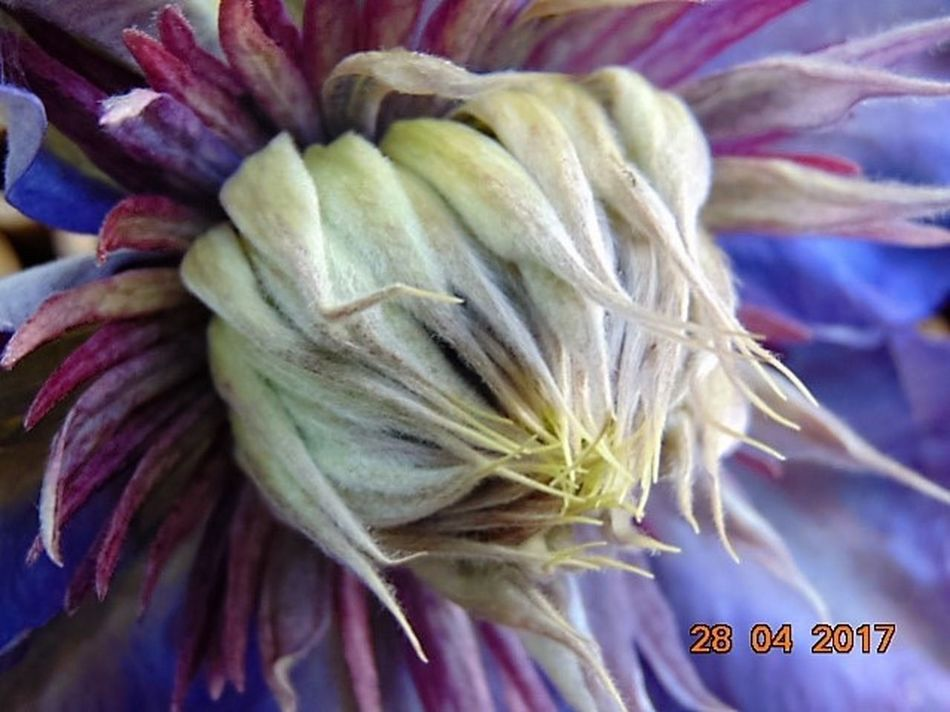 Clematis Flower Close-up No People Flower Head Day St Agnes Beauty In Nature Outdoors Freshness Purple