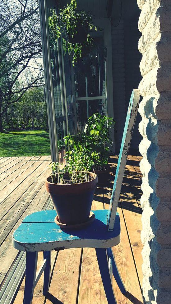 Plant Worth Waiting For Sunlight Pepper Tomato Basilica Chili Pepper in Nyköping