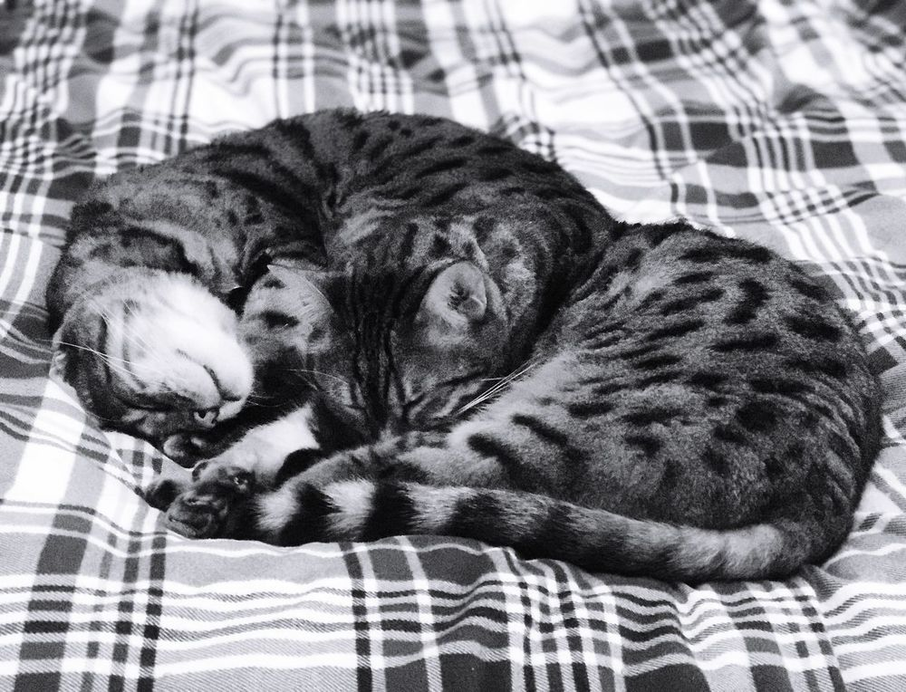 Mother and son Bengal cats asleep. Pets Domestic Animals Mammal Animal Themes One Animal Domestic Cat Relaxation Sleeping Indoors  Lying Down Bed Feline No People Close-up Day Bengal Cat Bengal Bengal Cat Lover Bengal Cats Bengals Feline Portraits Feline Companions Feline Friend