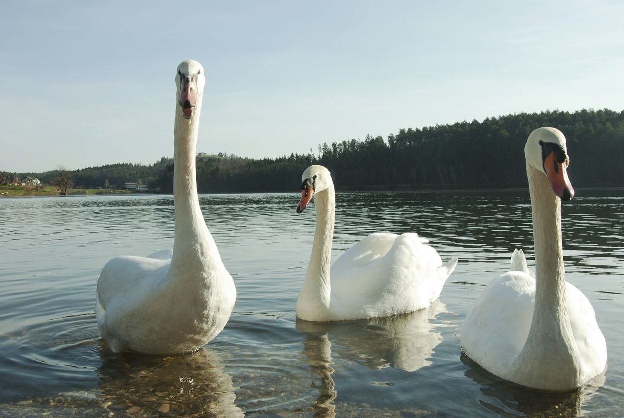 Three swans Swans Swimming Swans On The Lake Swans ❤ Swan Lake Swans Swimming Swanlake Nature Water Bird Swan Water Lake Beauty In Nature Animal Wildlife Animal Themes Beauty In Nature Springtime Swan Close Up No People Day Nature Swimming Bird Outdoors Close-up