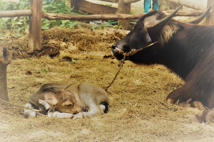 Buffalo Farm Farm Life Animal Themes Animals In The Wild Day Domestic Animals Mammal Nature No People Outdoors Young Animal Young Buffalo