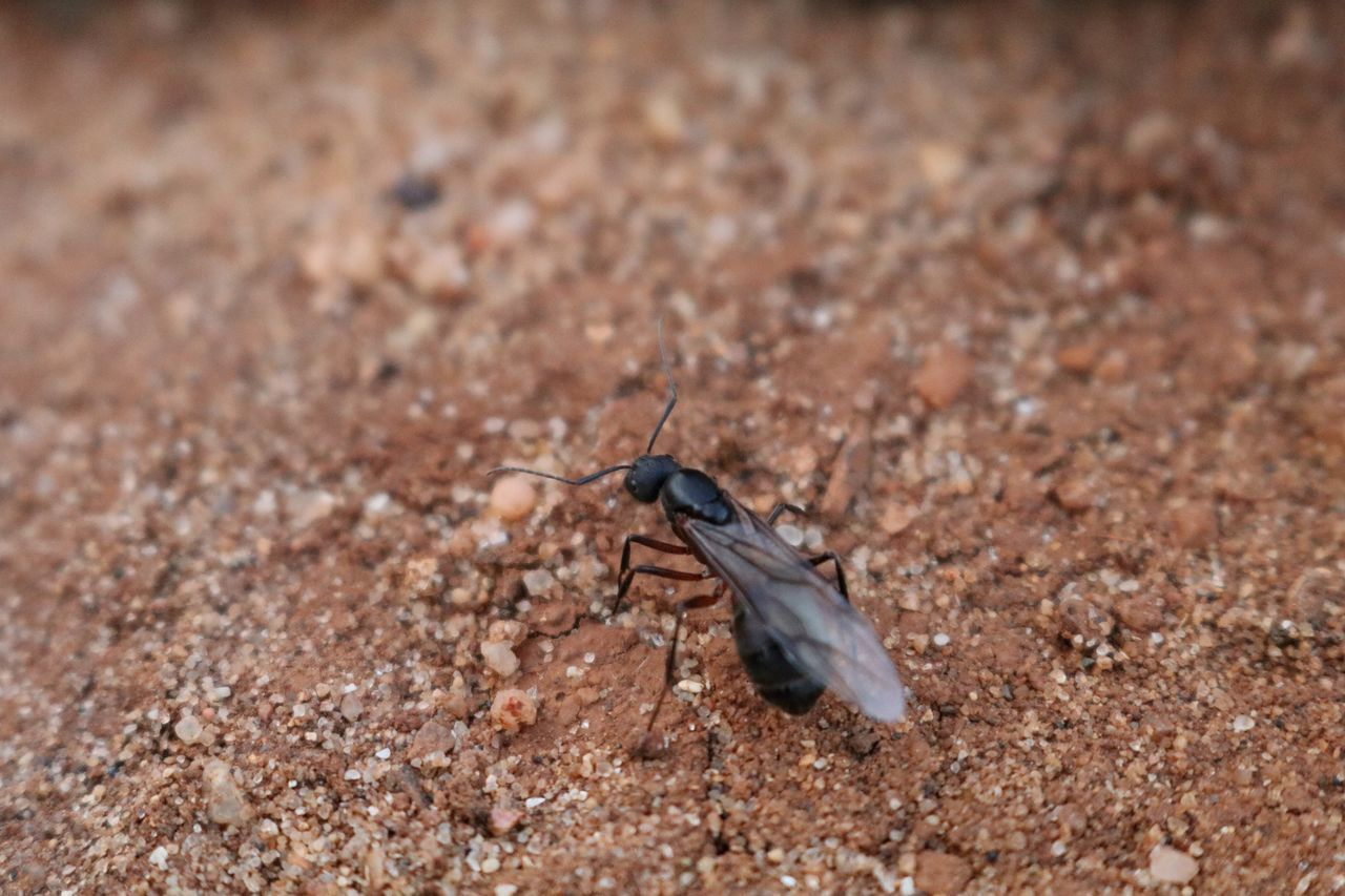 Black Ant Close-up Flying Ant From My Point Of View Insect Insect Paparazzi Insect Photo Insect Photography Insects  Insects Collection Minimal Minimalism Minimalobsession Sand