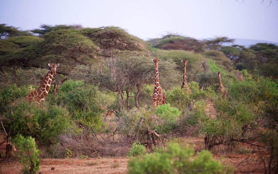 Giraffes out from the shade when it's getting cooler in the late evening. Acacia Africa Beauty In Nature Clear Sky Dusk Giraffe Giraffes Kenya Mammal Nature No People Outdoors Savanna