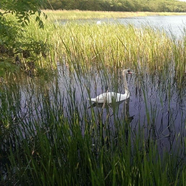 Rollesbybroad Norfolk Norfolkbroads Swan reeds nature nofilters