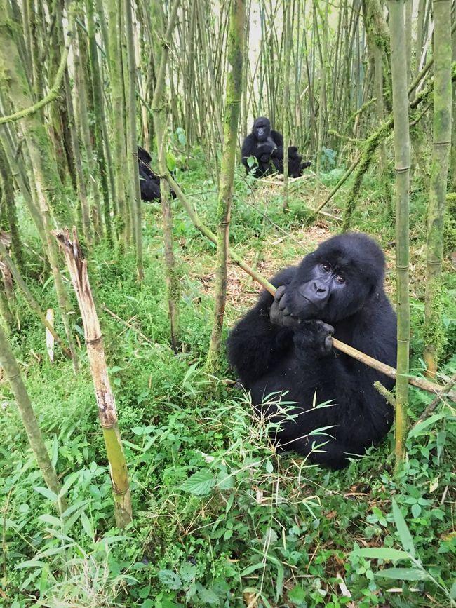 Color Palette Green Gorilla Gorillas Mountain Gorillas Forest Rwanda